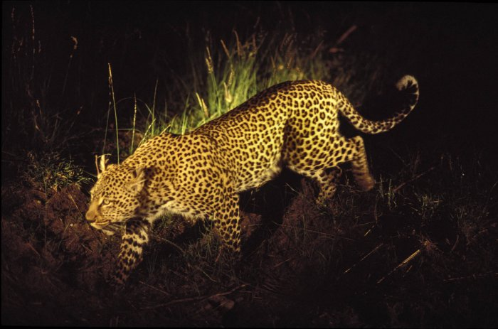 South Africa - Leopard on a night safari illuminated by a flashlight